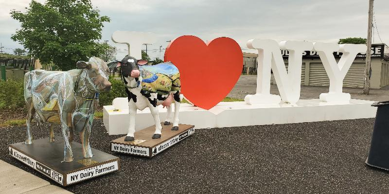 Image for #DiscoverNYDairy with two life-size Bovine Beauties!